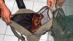 Little Orangutan Found Cowering In Backpack As His Captor Gets Busted - The Dodo