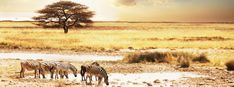 Whilst scientists hove some interesting theories on animal diversity, these traditional stories offer a fascinating alternative view. Savanna Biome, Good Morals, Traditional Stories, Travel Center, Biomes, Dark Night, Zebras, Holiday Travel, Tanzania