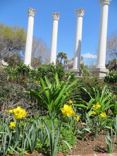 We planted hundreds of daffodil bulbs in Cannon Park (Charleston, S.C.) in January and here they are coming to life!