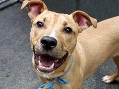 """NAS - A1036808 - - Manhattan  TO BE DESTROYED 05/30/15 – A volunteer writes: """"When you're smiling, when you're smiling….the whole world smiles with you"""". Those lyrics could have been written with Nas in mind, as he's the smilingest pup in town! Bouncy and playful with amazing puppy energy, Nas never stops smiling as he plays, waits for a treat, or gives hugs. Surrendered by his person for 'personal problems', we're"""