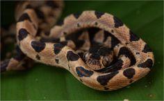Snake (Imantodes cenchoa) | by pbertner