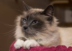 "Maine Coon Adoptions Rescues ""The Dogs of the Cat World"".    An article about MCA, featured on Catster about a year ago. Pictured is the gorgeous ""Herbie"" who, happily, has been adopted."