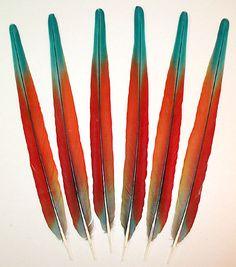 Hybrid Shamrock Macaw Center Macaw Feathers