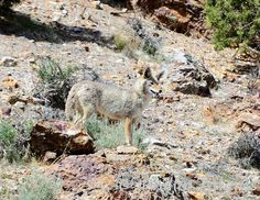 Amazing how well the coyote blends in. #NevadaWilds
