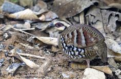 Bar-backed Partridge (Arborophila brunneopectus) | by gary1844