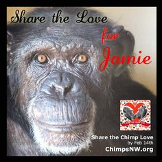 LOVE TO LAST A LIFETIME : It doesn't have to be Valentine's Day to share your love with Jamie and the chimps of Chimpanzee Sanctuary Northwest. Share the LOVE all year long on Instagram and more…..
