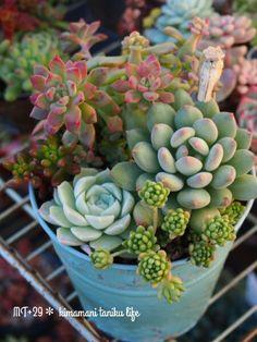 Variety of succulents Types Of Succulents, Growing Succulents, Succulents In Containers, Cacti And Succulents, Planting Succulents, Planting Flowers, Cactus Planta, Cactus Y Suculentas, Terrarium Plants