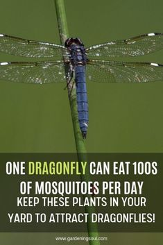 Garden pests - Plants One Dragonfly Can Eat of Mosquitoes per Day Keep These Plants in Your Yard to Attract Dragonflies! Garden Yard Ideas, Garden Projects, Garden Landscaping, Container Gardening, Gardening Tips, Organic Gardening, Indoor Gardening, Vegetable Gardening, Veg Garden
