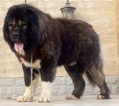 There is the fact that the Russian bear dog can grow as big as a tiger. There is no doubt in this fact, because of this these are well known as protectors or guarding dogs. Their size can be nearly 30 inches. Big Dogs, Large Dogs, Russian Bear Dog, Cocker Poodle, Protective Dog Breeds, Tibetan Mastiff Dog, Caucasian Shepherd Dog, Mastiff Breeds, White Dogs