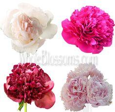 Buy Bulk Assorted Peony Wedding Flower At Wholesale Pricing Buy Peonies, Pink Peonies, Flowers Online, All Flowers, Spring Wedding Flowers, Wedding Bouquets, Affordable Wedding Flowers, Flowers Delivered, Peony Flower