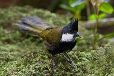 photo gallery australian birds eastern whip bird - Google Search