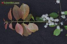 Eugenia florida / guamirim-cereja
