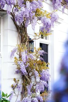 elm place: a guide to finding wisteria blossom in london England Travel Around The World, Around The Worlds, Holland, London Pubs, West London, London Places, Things To Do In London, Wisteria, London England