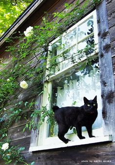 Black Manx cat on the window ledge - Manx Cat - Ideas of Manx Cat - Black Manx cat on the window ledge The post Black Manx cat on the window ledge appeared first on Cat Gig. Crazy Cat Lady, Crazy Cats, Big Cats, Kittens Cutest, Cats And Kittens, Cute Cats, Animals And Pets, Cute Animals, Chat Maine Coon