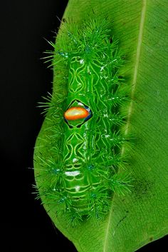The self-proclaimed Almond-backed Stinging Nettle Caterpillar (Cup Moth, Limacodidae)