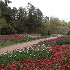 The Flower Garden Walk is at peak bloom! #LongwoodGardens #tulips