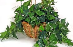 English Ivy - Top 10 NASA Approved Houseplants for Improving Indoor Air Quality