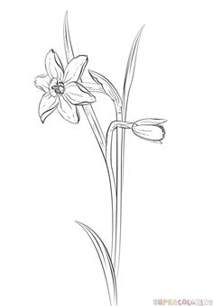 How to draw a daffodil flower step by step. Drawing tutorials for kids and beginners.