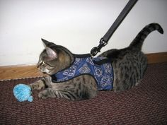Ever seen a cat walking on a harness and wondered how on Earth they got their kitty to do that? Some cats seems to naturally have no issue with it. Others need some help getting used to the idea. Tobi …