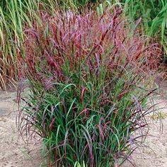 Latin name: Panicum virgatum 'Prairie Fire. Latin name: Panicum virgatum 'Prairie Fire. Prairie Fire, Prairie Garden, Landscaping Plants, Garden Plants, Landscaping Ideas, Florida Landscaping, Perennial Grasses, Red Perennials, Fine Gardening