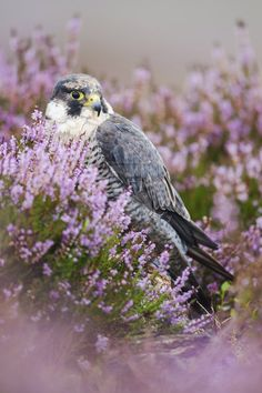 Peregrine falcon in heather by Aidan Finn