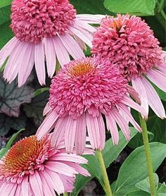 Meteor Pink Coneflower Seeds (Echinacea) 25 seeds These are heirloom seeds taken from hybrid plants. they may look like the parent plant, one of the grandparent plants or maybe something new entirely Big Plants, Exotic Plants, Garden Plants, House Plants, Potted Plants, Rare Flowers, Pink Flowers, Beautiful Flowers, Cut Flowers