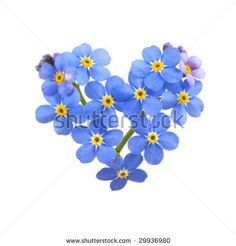 Google Image Result for http://image.shutterstock.com/display_pic_with_logo/98480/98480,1241881185,3/stock-photo-forget-me-not-little-flowers-in-heart-shape-isolated-on-white-29936980.jpg