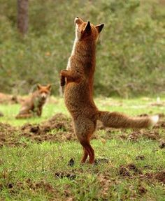 Fox standing on hind legs...Ading ding ding ding (1) From: Helga And Bear, please visit