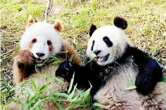 Name Pandas are alternatively called 'panda bears' just so that it seems distinct from otherwise unrelated red panda. Life Span The general life span of a panda is 20 years if they are wild and about 25 years if they are captive and protecte. Panda Love, Cute Panda, Panda Panda, Red Panda, Animals And Pets, Baby Animals, Cute Animals, Baby Panda Bears, Baby Pandas
