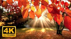 4K Autumn Forest & Relaxing Piano Music - Beautifull Fall Leaf Colors in...
