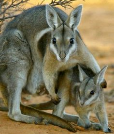 Bridled Nail tail Wallaby Onychogalea fraenata there are only around 500 left in the entire world :(
