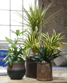 Gold Star Dracaena grows up to tall. It features long, variegated leaves that are light and dark green with white trim. Blue Wedding Flowers, White Flowers, Decorating Tips, Interior Decorating, Espalier, Cactus, Office Plants, Green Plants, Gold Stars