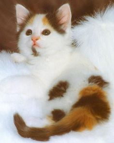 3cafb4eac2 The Turkish Van kitten is a super intelligent adorable ball of fluff!