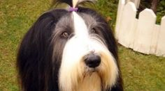 Bearded Collie | Collie Barbudo