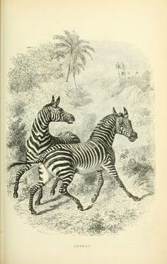 Zebras. Illustrated natural history of the animal kingdom, being a systematic and popular description of the habits, structure, and classification of animals from the highest to the lowest forms v.1 New York Derby & Jackson 1859. Biodiversitylibrary. Biodivlibrary. BHL. Biodiversity Heritage Library