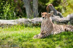 A captive cheetah in the San Diego Zoo Safari Park - What a beautiful animal