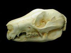 Tree Kangaroo Skulls Replicas Models for sale at www.SkeletonsAndSkullsSuperstore.com. These animal skulls and skeletons are ideal for educators, veterinarians and students.