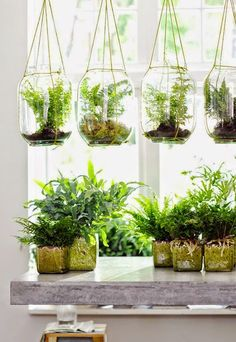 Ferns in Hanging Terrariums, really pretty, has the look of air plants but with ferns (that are more plentiful in Ontario)