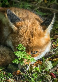 Red Fox by Jim Obee on 500px