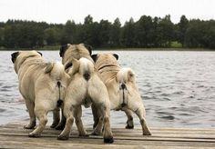 Pug butt
