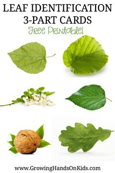 Free Printable Leaf Identification 3-part cards for Montessori Activities