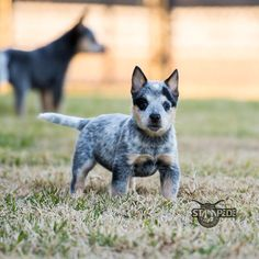 "Australian Cattle Dog | Blue Heeler | Puppy | Dogs Hope you're doing well.From your friends at phoenix dog in home dog training""k9katelynn"" see more about Scottsdale dog training at k9katelynn.com! Pinterest with over 20,500 followers! Google plus with over 154,000 views! You tube with over 500 videos and 60,000 views!! LinkedIn over 9,200 associates! Proudly Serving the valley for 11 plus years"