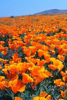 Reminds me the fields of poppies in the spring, Antelope Valley, CA Trees And Shrubs, Flowering Trees, Amazing Nature, Flower Power, Fields, Poppies, Garden, Pictures, Photography