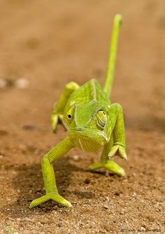 Chameleon, in South Africa BelAfrique - Your Personal Travel Planner… African Animals, African Safari, Colorful Lizards, Colorful Fish, Tropical Fish, Chameleon Eyes, South Africa Wildlife, Wild Eyes, Photos Of Eyes