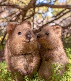 Facts you might not know about Quokkas Unique Animals, Cute Baby Animals, Funny Animals, Funny Animal Photos, Animal Memes, Quokka Baby, Quokka Animal, Echidna, Animal 2