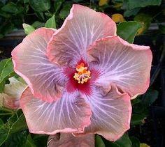 Tahitian Pastel Passion