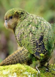 The Kakapo (Strigops habroptila) is a species of large, flightless, nocturnal, ground dwelling parrot from New Zealand. The Kakapo is critically endangered and as of February only 126 living individuals are known. Flightless Parrot, Kakapo Parrot, Weird Birds, Rare Birds, Rare Animals, Animals And Pets, Bizarre Animals, Beautiful Birds, Animals Beautiful
