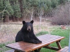 Bears Sitting at Picnic Table