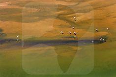 American Flamingo - BIA - birdimagency