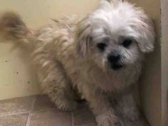 SUPER URGENT 1/31/15 Manhattan Center   AURELIA - A1026873   FEMALE, WHITE, SHIH TZU MIX, 10 yrs STRAY - ONHOLDHERE, HOLD FOR ID Reason STRAY  Intake condition EXAM REQ Intake Date 01/31/2015, From NY 10473, DueOut Date 02/07/2015,  Medical Behavior Evaluation GREEN
